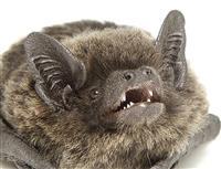 謎のコウモリの繁殖確認 日本初、動物写真家発見