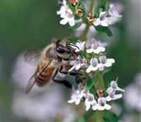 激減のニホンミツバチ復活で極上の梅を 和歌山・みなべ