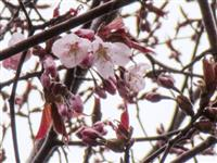日本一遅い桜開花 北海道の稚内と釧路