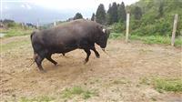 山古志の闘牛、日常を配信 新型コロナで伝統行事中止