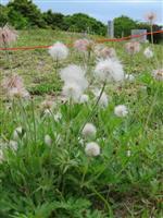 ふわふわ白髪のようオキナグサの群生 福岡・佐賀県境の基山
