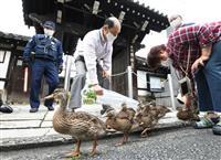 【動画】子ガモがヨチヨチお引っ越し 京都