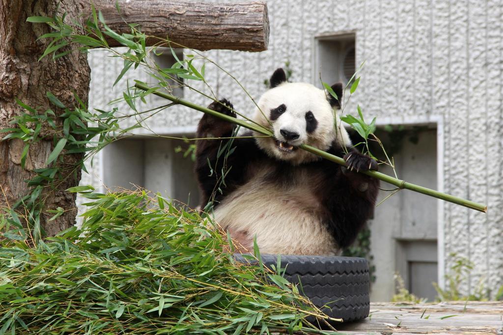 WEB パンダ 王子動物園の旦旦
