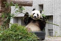 神戸のパンダ 中国への返還決まる
