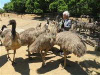 飛べない鳥、九州にはばたく エミュー飼育で地域おこし コロナワクチン製造を実験