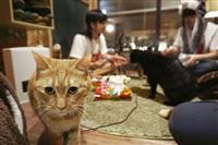 山口の旅館が保護猫、動画で飼い主探し 休業で中止の譲渡会代わり