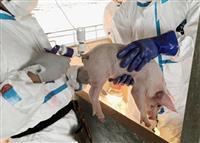 豚熱、野生イノシシで拡大 農水省、飼育豚で再燃警戒