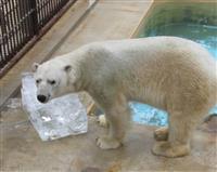 ホッキョクグマのホクト、新天地・旭川へ 姫路市立動物園で送る会