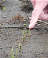 【深層リポート】世界で例のない「イネの初冬直播き栽培」 実用化へ光明