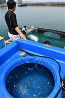 サワラ稚魚、最後の放流 五色町漁協、資源回復目的を達成 兵庫