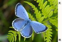 絶滅危惧種オオルリシジミ、「地元の宝」チョウ守れ 竹田、乱獲に住民ら保護活動