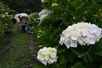 雨露に光るアジサイ あわじ花の歳時記園