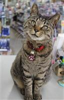 ネコ店長のシマ子 愛嬌ふりまく人気者 長野県小諸市の文房具店