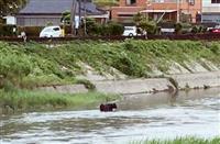 鹿児島名産の牛、競り直前に逃走 川で発見