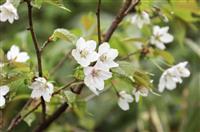 「日本一遅い」桜が見頃 北海道黒岳、チシマザクラ
