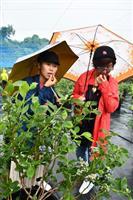 旬のブルーベリー味わって 淡路市に観光農園 脱サラ移住の男性が開園