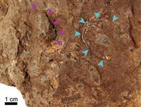 世界最小の恐竜卵を発見 わずか10グラム、兵庫の地層