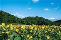 群馬・みどり市 コロナ禍に勇気…秋のヒマワリが「奇跡」の開花