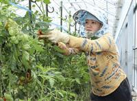 八代のトマト農家で外国人活躍 「特定技能持ちリーダー役」と高評価