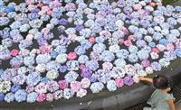 【動画あり】大阪・池田の久安寺で「あじさいうかべ」