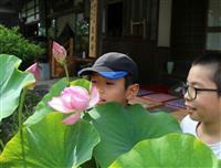 養父・高照寺でハスの花が見頃に