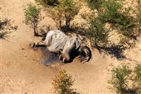 ゾウ350頭が謎の死 ボツワナ「前例ない規模」