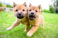 顔くっつけ走る「奇跡の一枚」山陰柴犬の兄妹新たな旅立ち