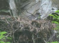 絶滅危惧種ニホンイヌワシ繁殖確認 兵庫県内16年ぶり