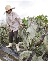 豪雨 農業被害も拡大 熊本、田や葉タバコ畑冠水