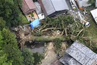 樹齢千年超のご神木倒れる 高さ40メートル、大雨の影響で