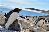 南極のペンギン、温暖化で大繁殖する可能性