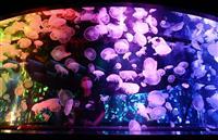 【動画】京都水族館でクラゲ5千匹展示 西日本最多