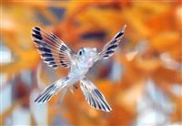 【動画】羽広げ泳ぐ姿、まるで蝶 ニフレルにトビウオの赤ちゃん