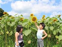 夏の風物詩、咲き誇る 香住でヒマワリ見頃