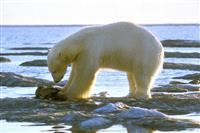 【ソロモンの頭巾】長辻象平 温暖化と白熊 「頭数増加」とカナダの女性研究者