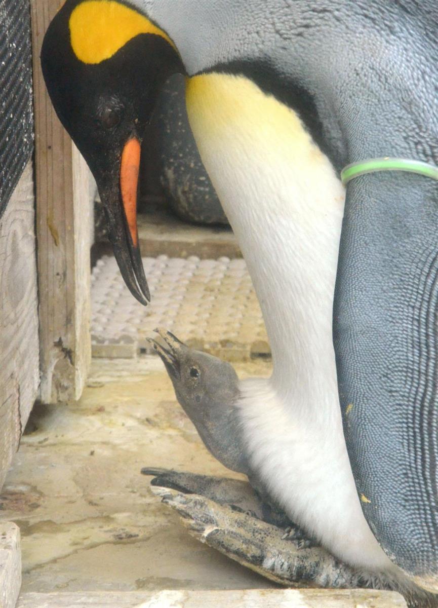 オウサマペンギンひな誕生 静岡・下田海中水族館