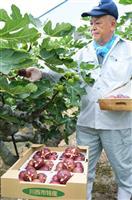 朝採りイチジク色鮮やか 川西で収穫最盛期
