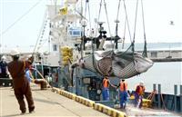 釧路沖、ミンク2頭捕獲 商業捕鯨