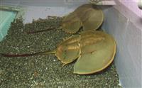 姫路の水族館、貴重なカブトガニ見に来て