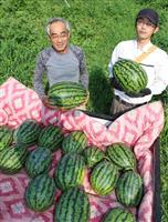 食べて猛暑乗り切って 神鍋スイカ収穫続く 兵庫