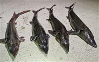 チョウザメ釣れた?! 宮崎・大淀川、大雨で養殖場「脱走」か