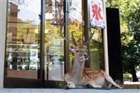 側溝の中、冷気のおこぼれ…「奈良のシカ」の暑さ対策