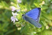 日本固有のチョウ、オガサワラシジミ絶滅か 飼育の個体全滅、環境省
