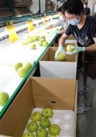 香美で二十世紀梨の出荷開始