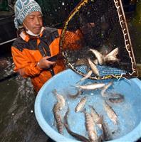 ヤマメを「生きたまま通販」 山梨・小菅村、コロナで養魚場が密に…