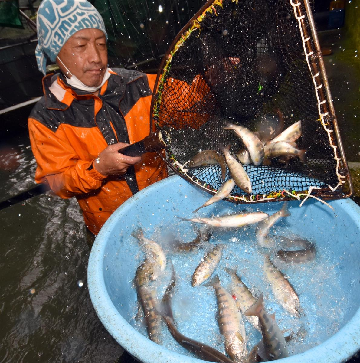 ヤマメを「生きたまま通販」 山梨・小菅村、コロナで養魚場が密…