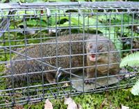 奄美大島のマングース、初の捕獲ゼロ 生態系改善へ根絶進む