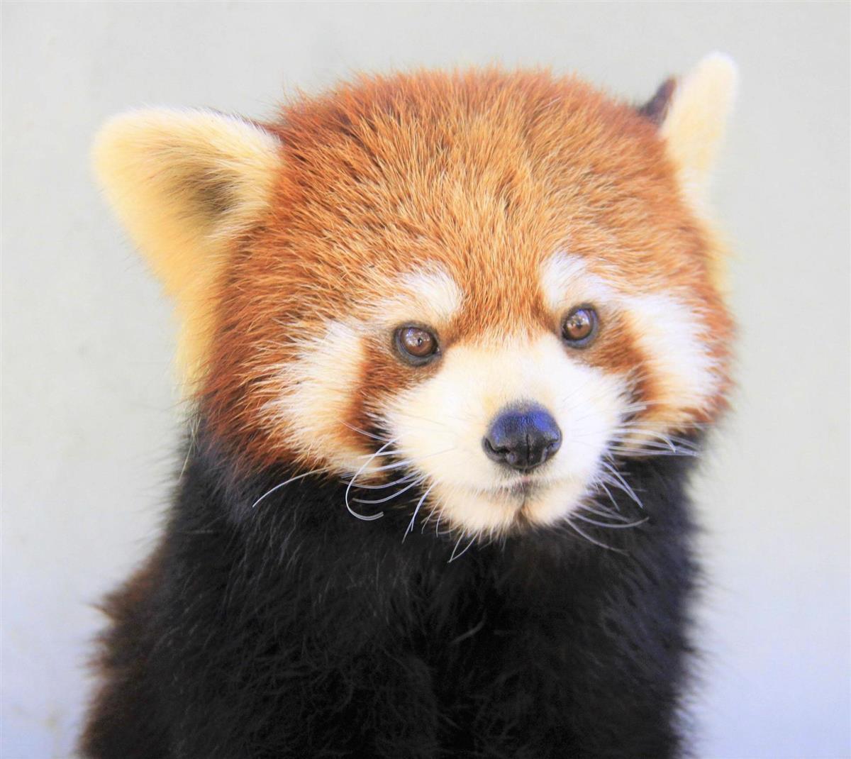 レッサーパンダの画像 p1_4