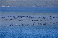 浅瀬にクジラ250頭打ち上げ、豪タスマニア