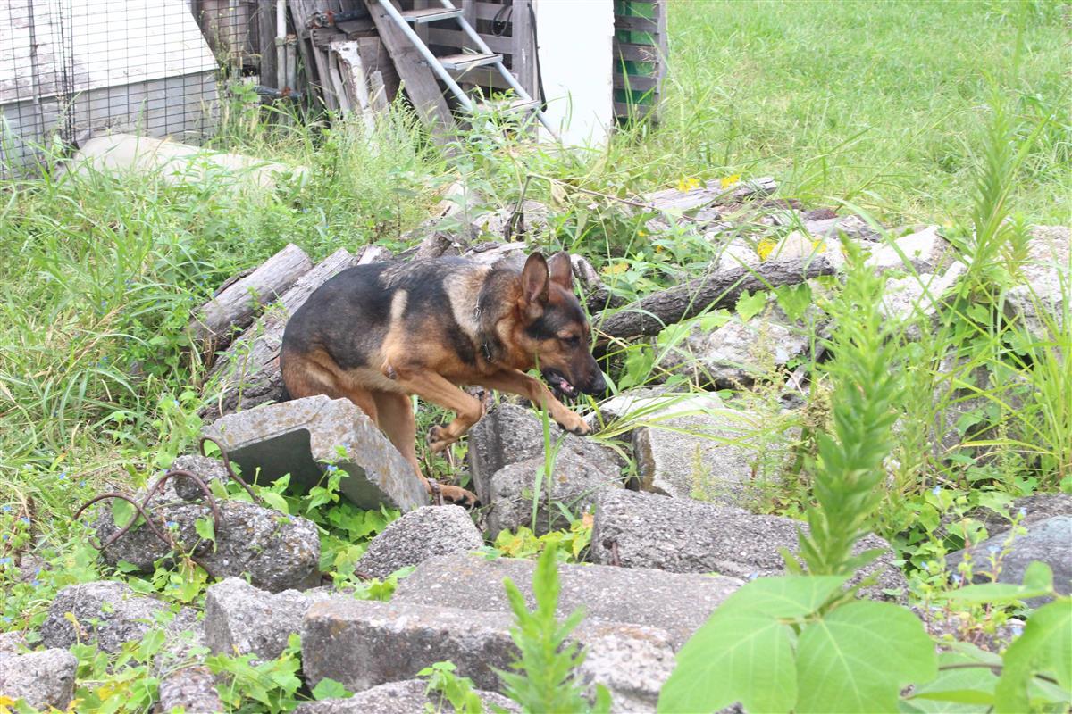 【いきもの語り】がれきで訓練 有事に備え 日本救助犬協会の「救助犬チームさくら」
